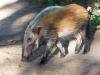 Buschschwein
