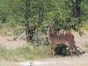 Grosses Kudu-Weibchen