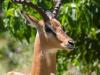 Schwarzfersenantilope/Impala