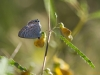 Lampides boeticus Long-tailed Blue (Großer Wander-Bläuling)