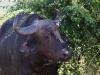 Büffel mit Gelbschnabelmadenmacker