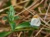 Colotis euippe complexivus (männlich)
