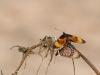 Acraea Spec. Unterseite