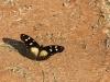Amauris albimaculata (Layman)