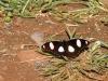 Hypolimnas misippus (Linnaeus)