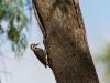 Namaspecht Dendropicos namaquus (Bearded woodpecker)