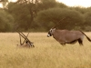 Spiessbock/Oryx