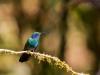 Green-Violet-Ear-Hummingbird
