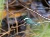Amazonasfischer (Eisvogel)