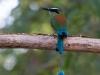 Blauscheitel-Motmot