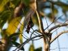 Braunschwanzamazilie (Kolibri)