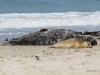 Kegelrobbe und Seehund