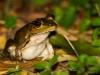 Costa Rica- oder Maskenlaubfrosch