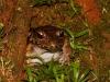 Südamerikanischer Ochsenfrosch