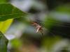 Stachelspinne (aus der Familie der Echten Radnetzspinnen)