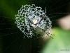 Argiope Savignyi-Spinne (Costa Rica)