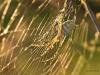 Radnetzspinne (argiope lobata) Weibchen