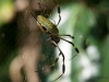 Seidenspinne (Costa Rica)