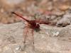 Blutrote Heidelibelle (La Gomera)