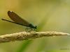 Gebänderte Prachtlibelle (Weibchen)