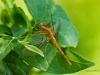 Kleiner Baumpfeil (Weibchen)