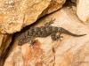 Kanarischer Mauergecko (La Gomera)