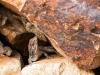 Kanarischer Mauergecko
